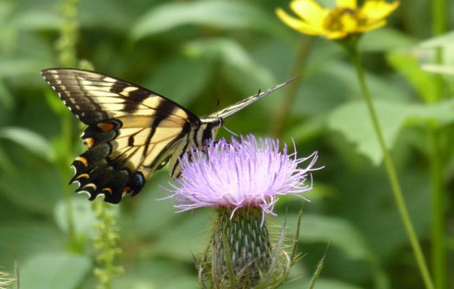 Eastern Tiger Swallowtail on a thistle flower